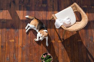 Dog lying on wooden terrace. Rattan chair and flower pot.