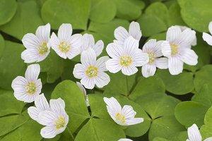 Wood sorrel flowers