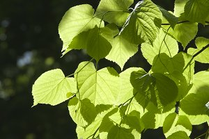 Green leaves in a clear sunlight