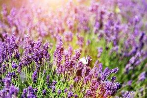 White butterfly sitting on lavender flower.