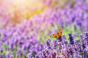 Butterfly sitting on lavender flower.