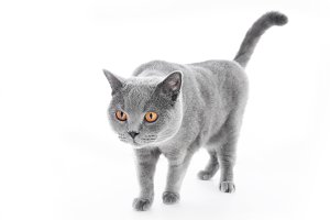 British Shorthair cat isolated on white. Walking