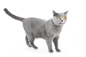 British Shorthair cat isolated on white. Standing