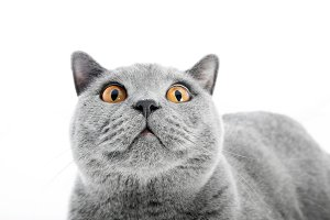 British Shorthair cat isolated on white. Surprised