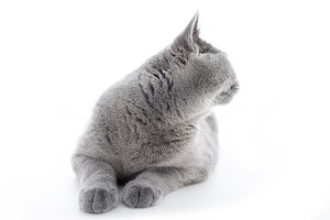 British Shorthair cat isolated on white. Turning back