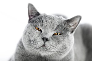 British Shorthair cat isolated on white. Angry, irritated