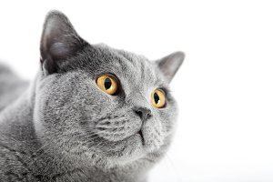 British Shorthair cat isolated on white. Face portrait