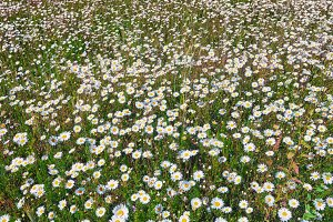 Field of white daisies in summer