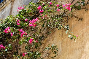 Climbing Flowering Vine on Wall