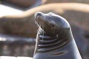 California Sea Lion Head