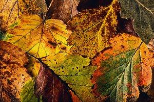 Macro autumn leaves yellow red
