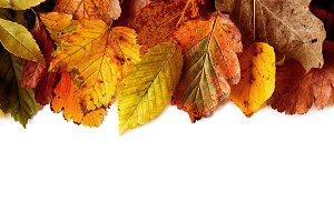 Macro autumn leaves isolated white