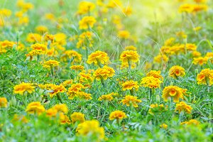Yellow Marigolds flower field