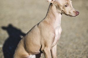 little italian greyhound dog.