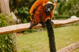 Red Ruffed lemur sitting on a branch