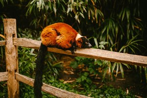 Red Ruffed lemur lies on a branch
