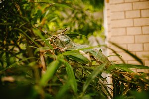 European Green Lizard sits in the grass
