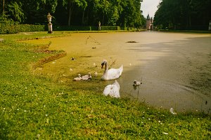 White swans with ducklings in water