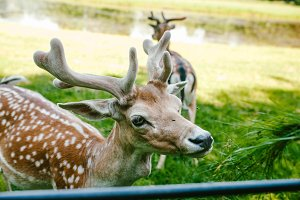 Sika deer eat grass with hands