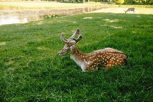 Sika deer lying on the grass
