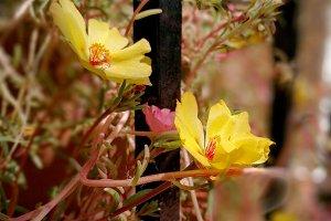 Common purslane flower in the window