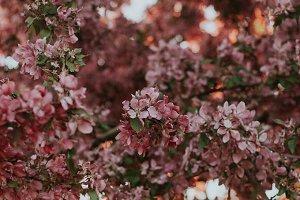 Sun shining through pink flowers