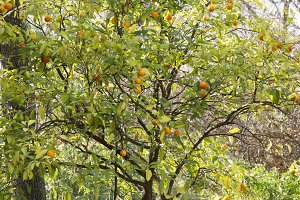 Oranges on a tree