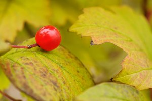 Red berry on autumn leaf