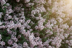 Lilac Bushes and Sun Flare