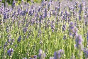 Beautiful lavender fields under blue