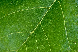 Background of a leaf