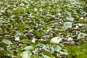 Lotus pond.