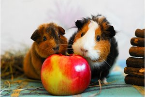 Two guinea pigs are eating an apple. Pet.