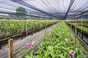 Dendrobium orchid farm
