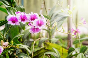 Pink and white orchid in the farm