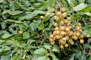 Longan bunch on the tree