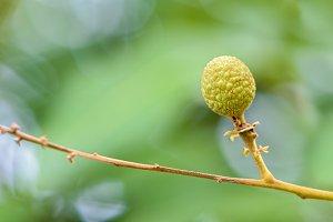 Green small longan fruit