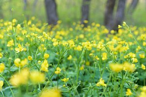Yellow flower meadow closeup
