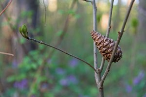 Pine Cone stucked in branch closeup