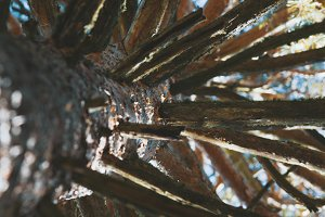 Pine tree branches - bottom view, autumn forest