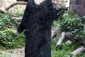 European black bear standing on its hind legs and scanning its surroundings