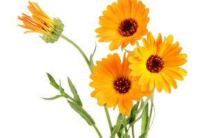 Calendula officinalis. Marigold flower with leaf isolated on white background