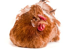 Portrait of a brown chicken isolated on white background