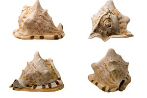 Four Views of a Conch Shell