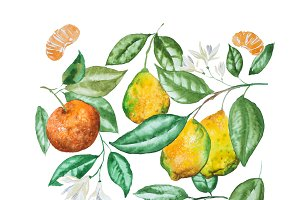 Hand drawn watercolor set of citrus fruit, leaves and blossoms isolated on white background
