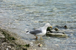 Seagull bird animal walking on the sea shore