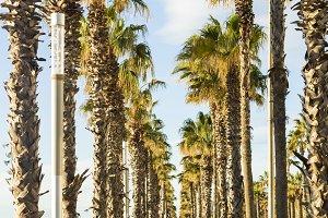 Promenade with palms. Barcelona,