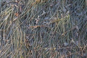 Frozen grass with ice crystals in winter