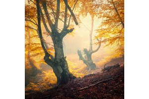Enchanted autumn forest in fog in the evening.