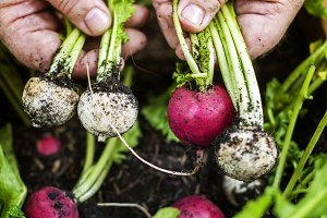 Closeup of hand holding beets